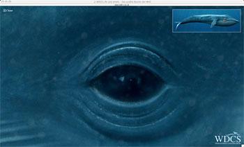 Die Wal- und Delphinschutzorganisation WDCS wendet sich mit dem ...